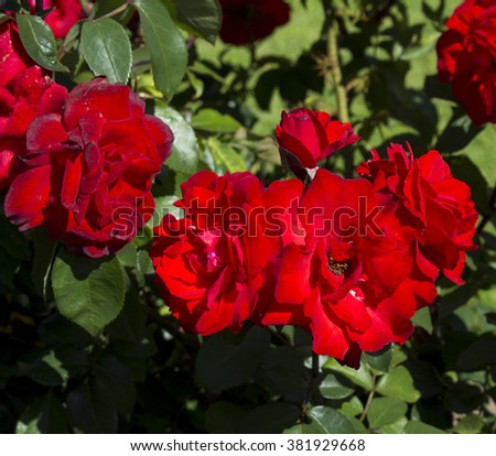 Deliciously  fragrant brilliant red floribunda roses blooming in summer which  are showy and ornamental adding a  glorious splash of bright scarlet  tones to the garden landscape. - stock photo