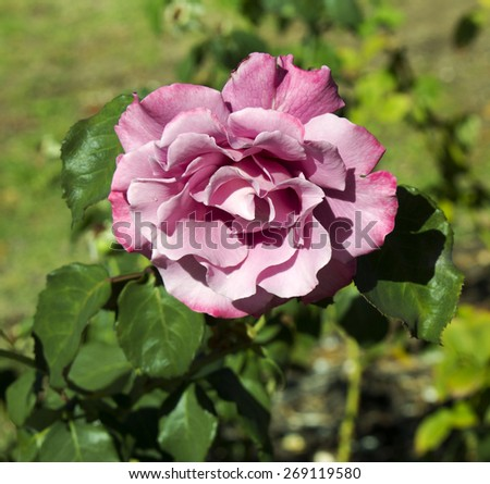 Delightful  mauve pink romantic florabunda rose   Angel Face  blooming  on  a cloudy afternoon in  mid autumn  adding fragrance and color to the garden  is a joy to behold. - stock photo