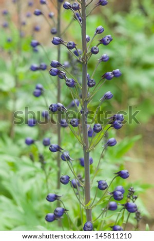 Delphinium buds in early summer - stock photo