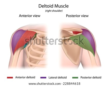 Deltoid muscle color coded front and back views. - stock photo