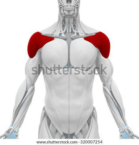biceps brachii muscles anatomy map stock illustration 320007284, Muscles