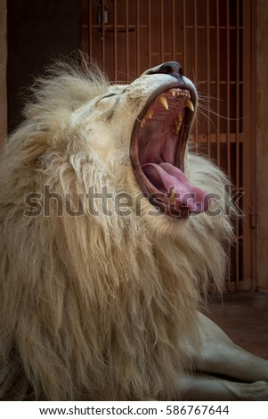 Demidov, Ukraine - August 11, 2016: White lion in a zoo cage growling