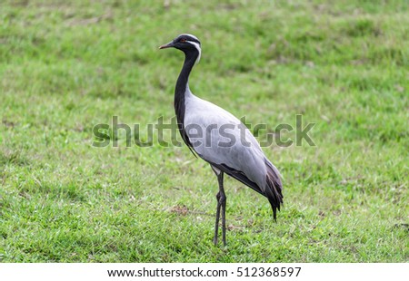 Demoiselle crane (Anthropoides virgo ) in the field.