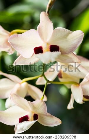 Dendrobium pulchellum, ,orchid flower in bloom in spring.  - stock photo