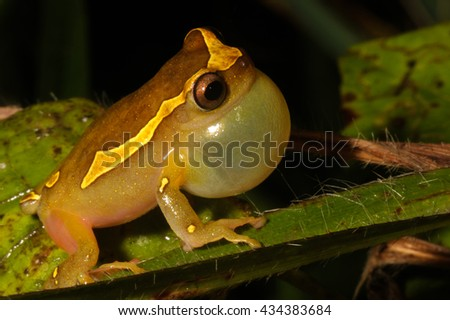 Dendropsophus leucophyllatus is a species of frog in the Hylidae family. It is found in the Amazon Basin. - stock photo