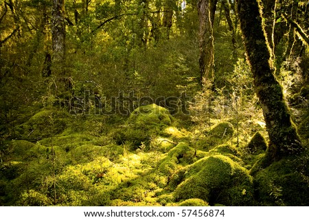 Dense and ancient forest on Milford Track, New Zealand