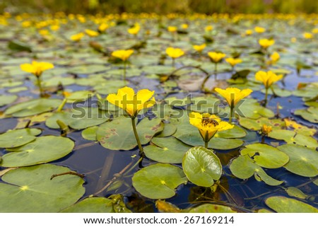 Dense floating water vegetation of Fringed Water-lily (Nymphoides peltata) with a bee eating from nectar - stock photo