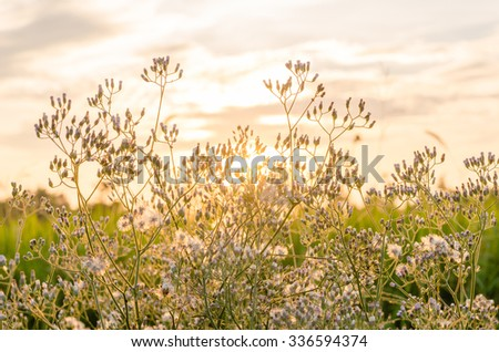 dense grasses flowers, sunset background