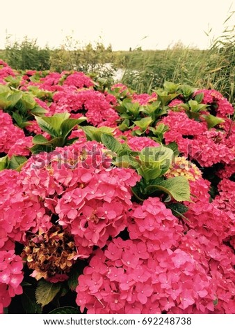 Dense growth of bright pink hydrangea flowers with mobile vintage filter applied