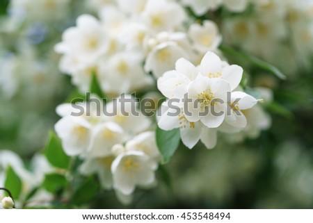 dense jasmine bush blossoming in summer day - stock photo