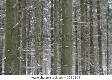 Dense pine forest in winter - stock photo