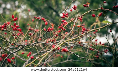 Dense rosehip bush with many tender ripe red berries on blurred bokeh background - stock photo