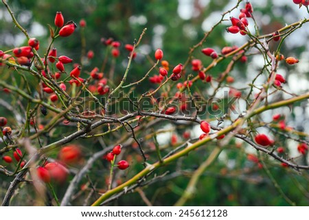 Dense rosehip bush with many tender ripe vivid red berries on blurred bokeh background - stock photo