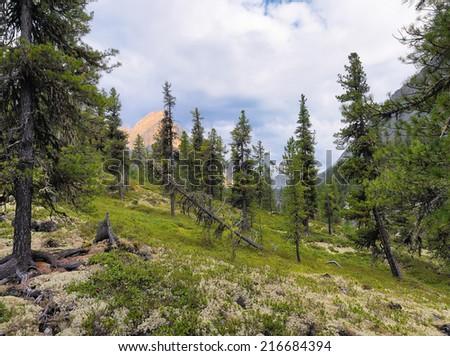 Dense Siberian mountain forest. Sayan mountains. Republic of Buryatia - stock photo