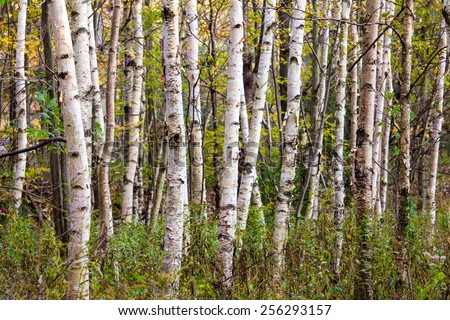 Dense stand of birch trees in early fall, Minnewaska State Park, New York