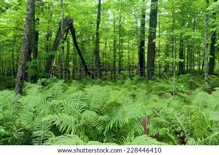 Densely growing fern plants on forest floor and lush forest canopy of Jay Cooke State Park near Carlton Minnesota - stock photo
