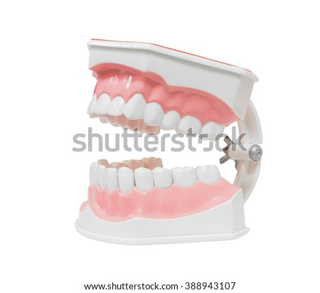 Dental Model of Teeth Open mouth, Isolated on white background clipping path