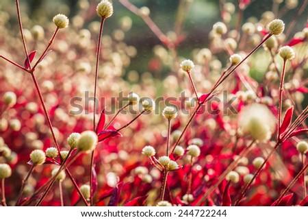 Dentata Ruby garden - stock photo
