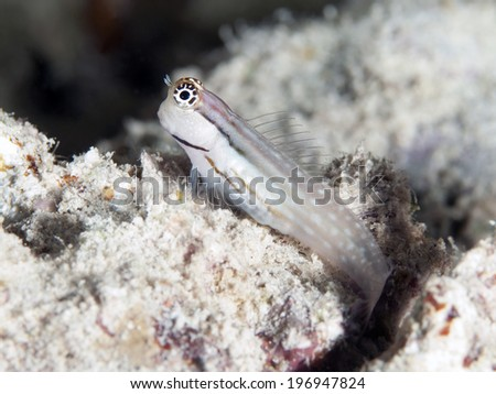 Dentex blenny in Red sea, Egypt, Hurghada - stock photo