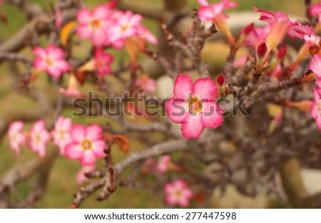 depth of field desert rose bloom in the garden - stock photo