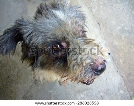 Dermatitis for animal - Dog - stock photo