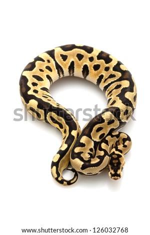 Desert ball python (Python regius) isolated on white background. - stock photo