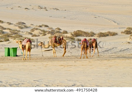 Desert base camp with camels and tent. Tracks of 4X4 vehicles used in desert safari can be seen