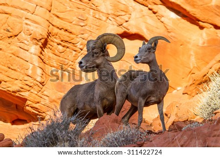 Desert Big Horn Sheep on Red Rock In Valley of Fire State Park Nevada