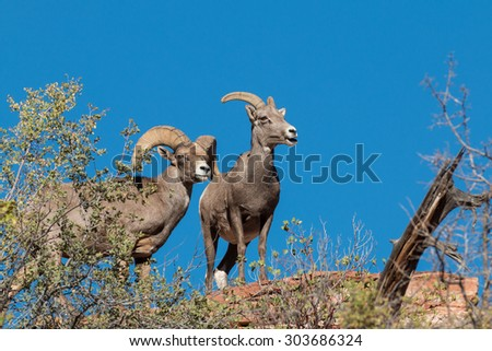 Desert Bighorn Ewe and Ram in the Rut - stock photo