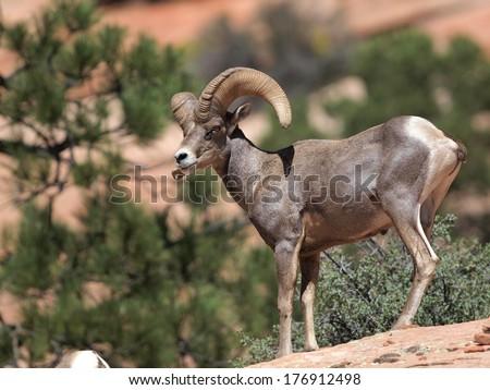 Desert bighorn ram in Zion - stock photo
