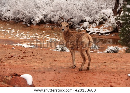 Desert Bighorn Sheep in Zion National Park, Utah - stock photo