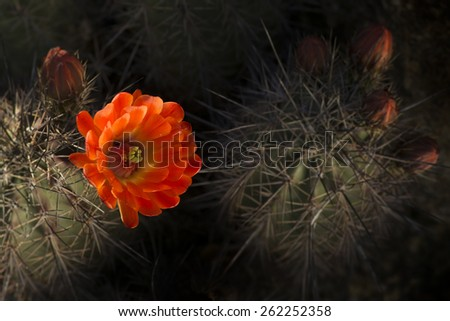 Desert bloom - beautiful red flower barrel cactus - stock photo