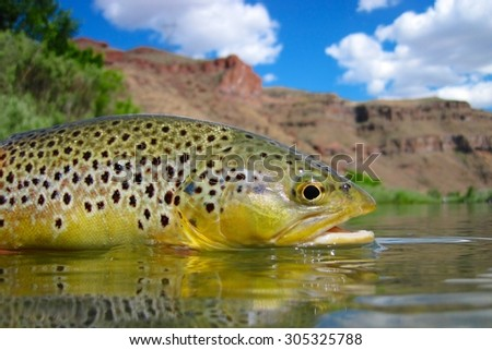 Desert brown trout - stock photo