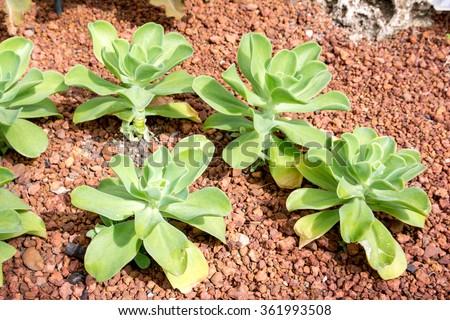 Desert Cabbage,Paddle Plant,Kalanchoe thyrsiflora Harv. - stock photo