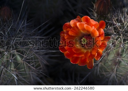 Desert cactus wildflower spring blooming - stock photo