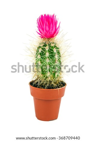 desert cactus with pink flower isolated on white background