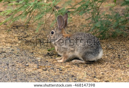 Desert Cottontail rabbit (Sylvilagus audubonii). Big Bend National Park, Texas, United States