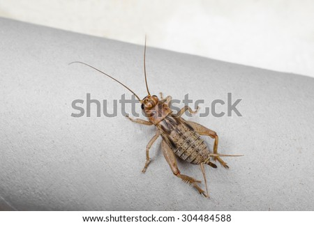 desert cricket (live food insect) - stock photo