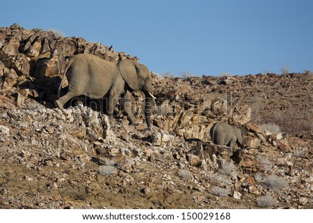 Desert elephant mother and young, Damaraland, Namibia, southern Africa - stock photo