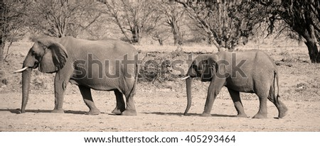 Desert elephants are not a distinct species of elephant but are African bush elephants (Loxodonta africana) that have made their homes in the Namib and Sahara deserts. - stock photo