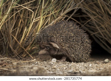 Desert hedgehog (Paraechinus aethiopicus) - a cute but secretive inhabitant of the Arabian deserts, this little animal was busy foraging among isolated strands of vegetation in the evening in Sharjah.