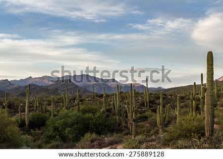 desert landscape in Arizona with the beautiful Saguaro cactus in springtime - stock photo