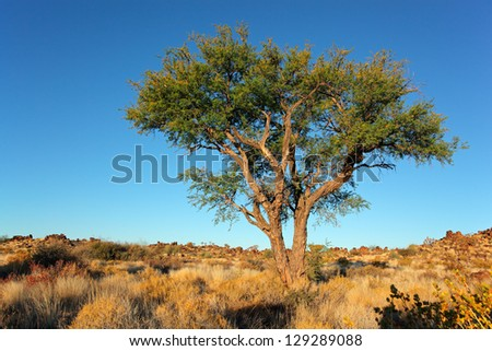Desert landscape with a African Acacia tree and blue sky, Namibia, southern Africa - stock photo