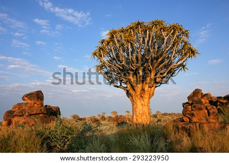 Desert landscape with a quiver tree (Aloe dichotoma) and granite rocks, Namibia - stock photo