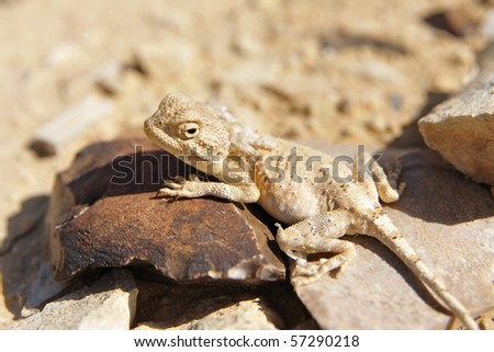 Desert lizard stellion can change color like chameleon. Negev desert, Israel. - stock photo