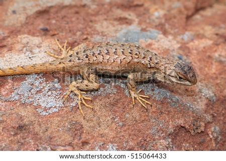 U S Lizard Desert Lizard S...