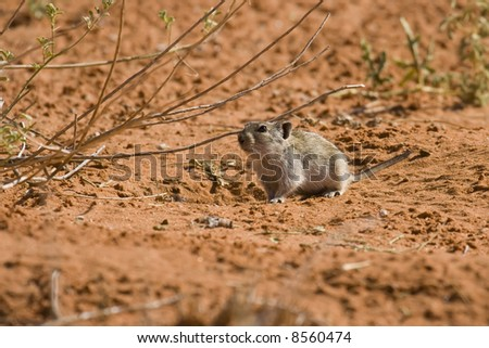 Desert pygmy mouse foraging for food in the Kalahari - stock photo