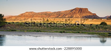 Desert River Ranch Black Angus Cattle Livestock - stock photo