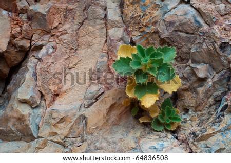 Desert Rocknettle, Eucnide urens,  Emerges from Rocky Cliff in Ash Meadows National Wildlife Refuge near Death Valley - stock photo