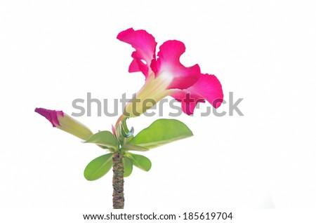 Desert rose flower isolation on white background - stock photo